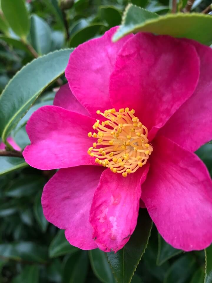 Phone photography tips. Camellia in my garden.